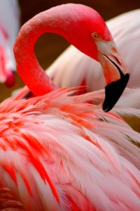 flamingo-1126226_1920